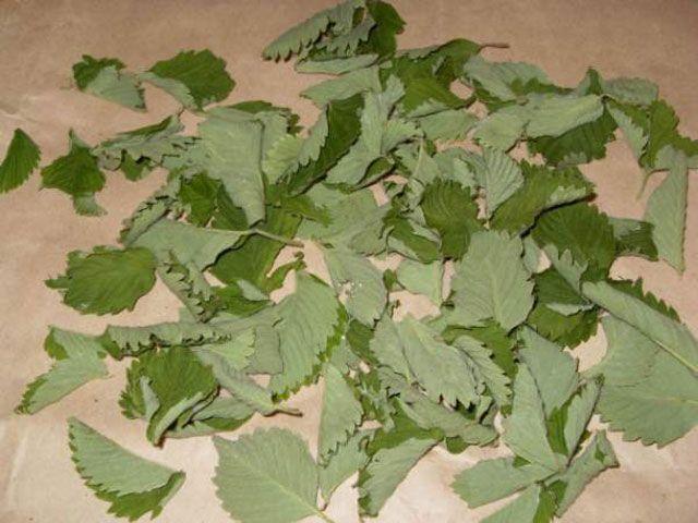 Сушка земляничных листьев
