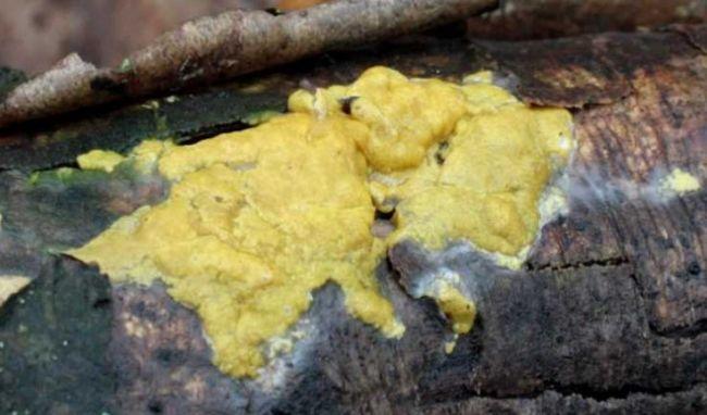Гипокрея серно-желтая
