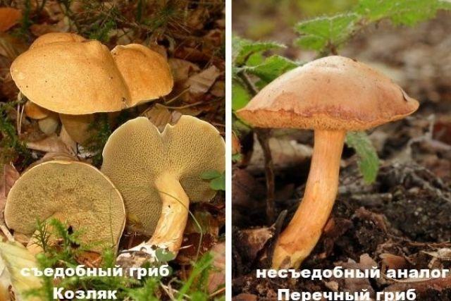 Козляк и перечный гриб
