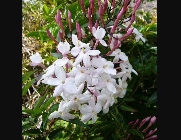 Многоцветковый жасмин