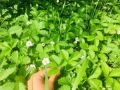 Сбор земляничных листьев